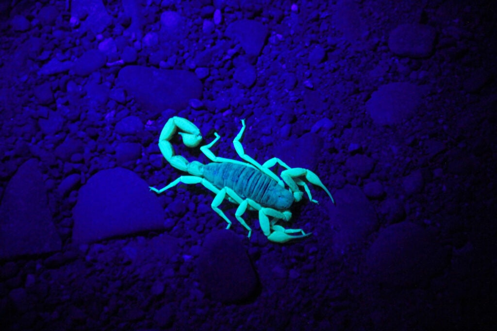 A scorpion glowing under ultraviolet light or a blacklight.
