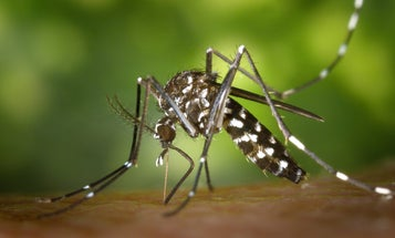 Mosquitoes that carry dengue might not survive rising temperatures