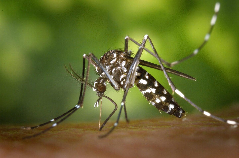 mosquito biting a human limb