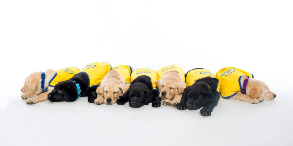 Seven retriever puppies, some golden, some black, lying down in yellow vests.