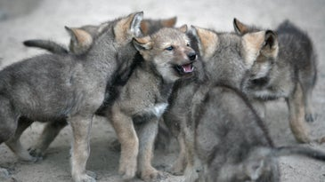 A pack of wolf puppies.