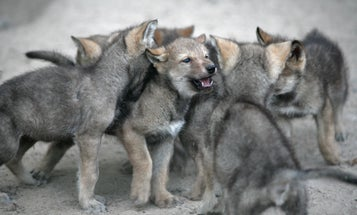 Puppies beat out young wolves in one important skill