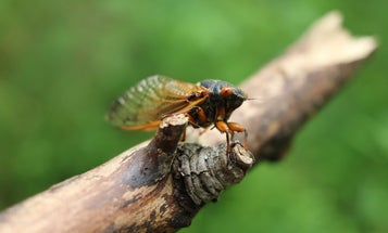 Baby Brood X cicadas are headed underground. What lies ahead is still a mystery.