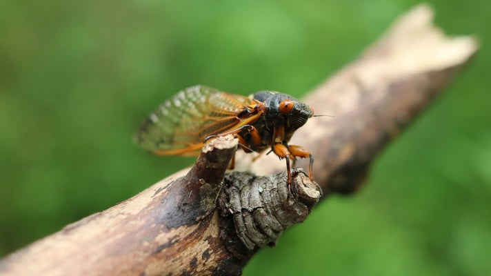 A red-eyed, black-bodied cicada with amber legs and wings perches on a brown stick facing towards the camera. The cicada's head is in sharp focus while the rest of the image blurs into the green background.
