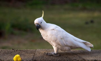 Australian cockatoos are teaching each other to open trash cans