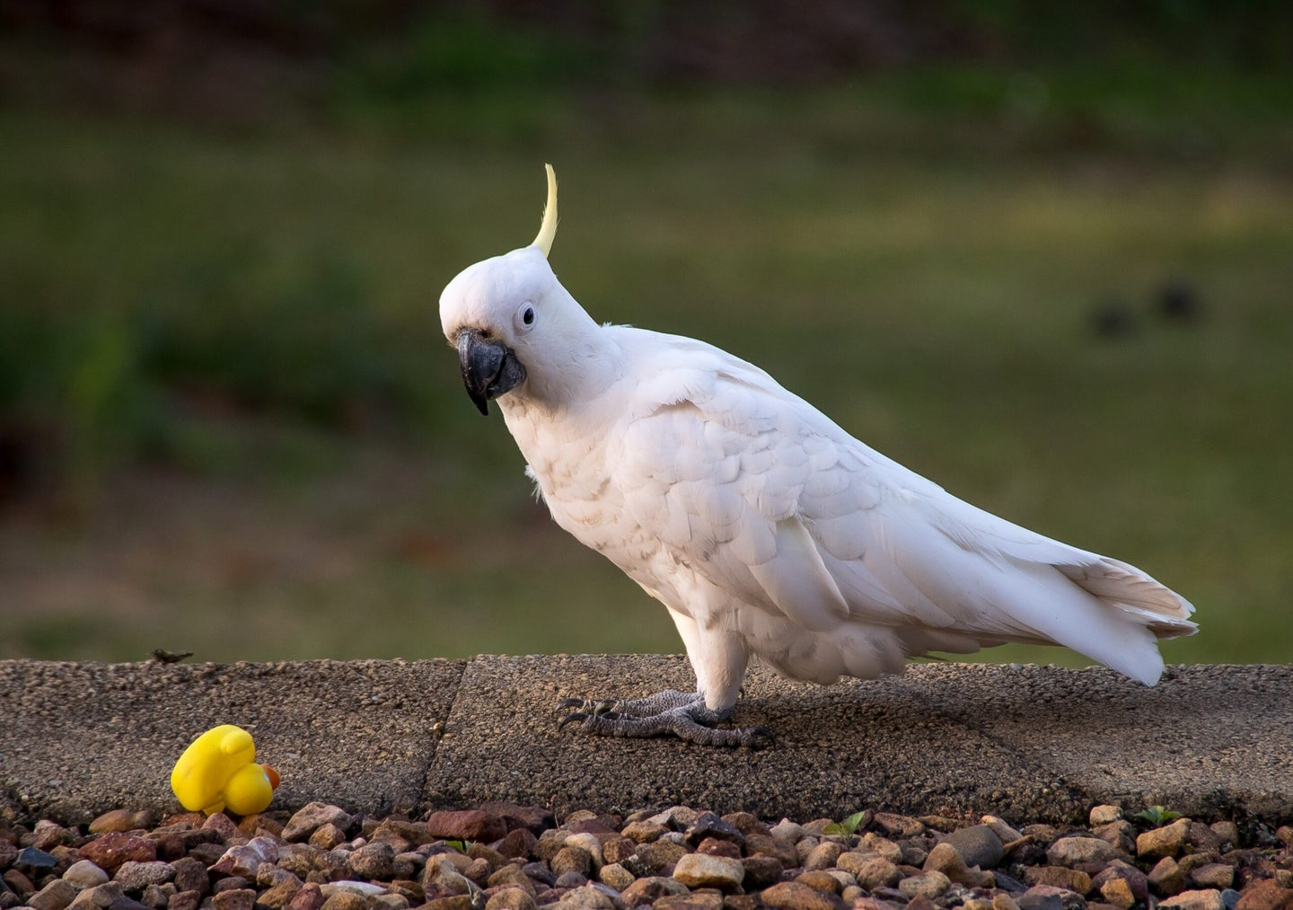 a sulfur-crested cockatoo perched on a wall