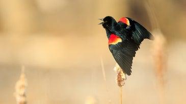 Red-winged blackbird singing.