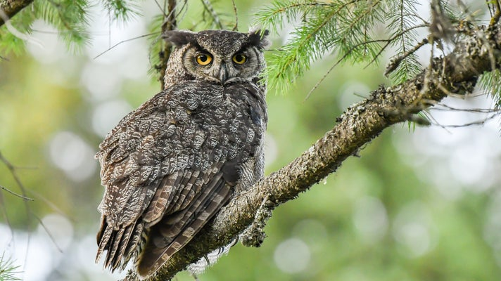 An owl sitting on the branch of an evergreen tree in the forest.