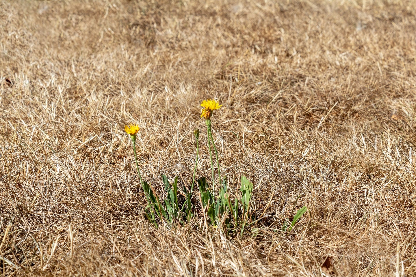 Dried grass and flowers in a drought and heat wave