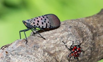 Everything you need to know about the spotted lanternfly invasion