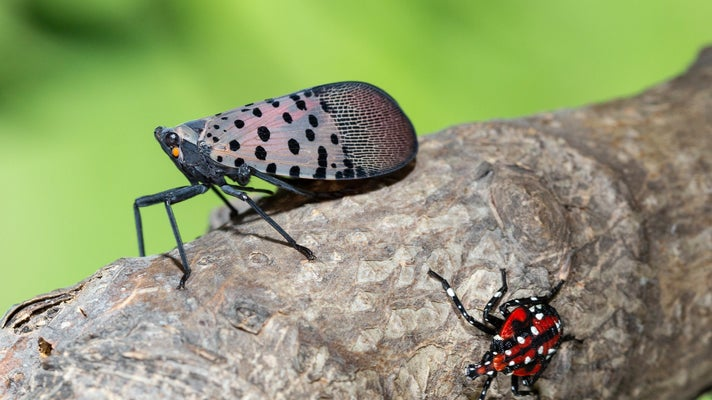 Spotted lanternfly adult and nymph on a tree branch