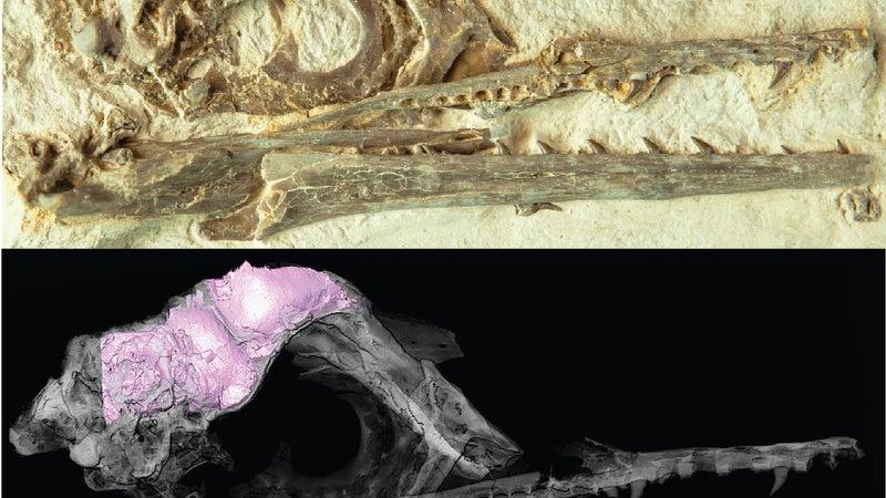 How bird brains thrived during a mass extinction
