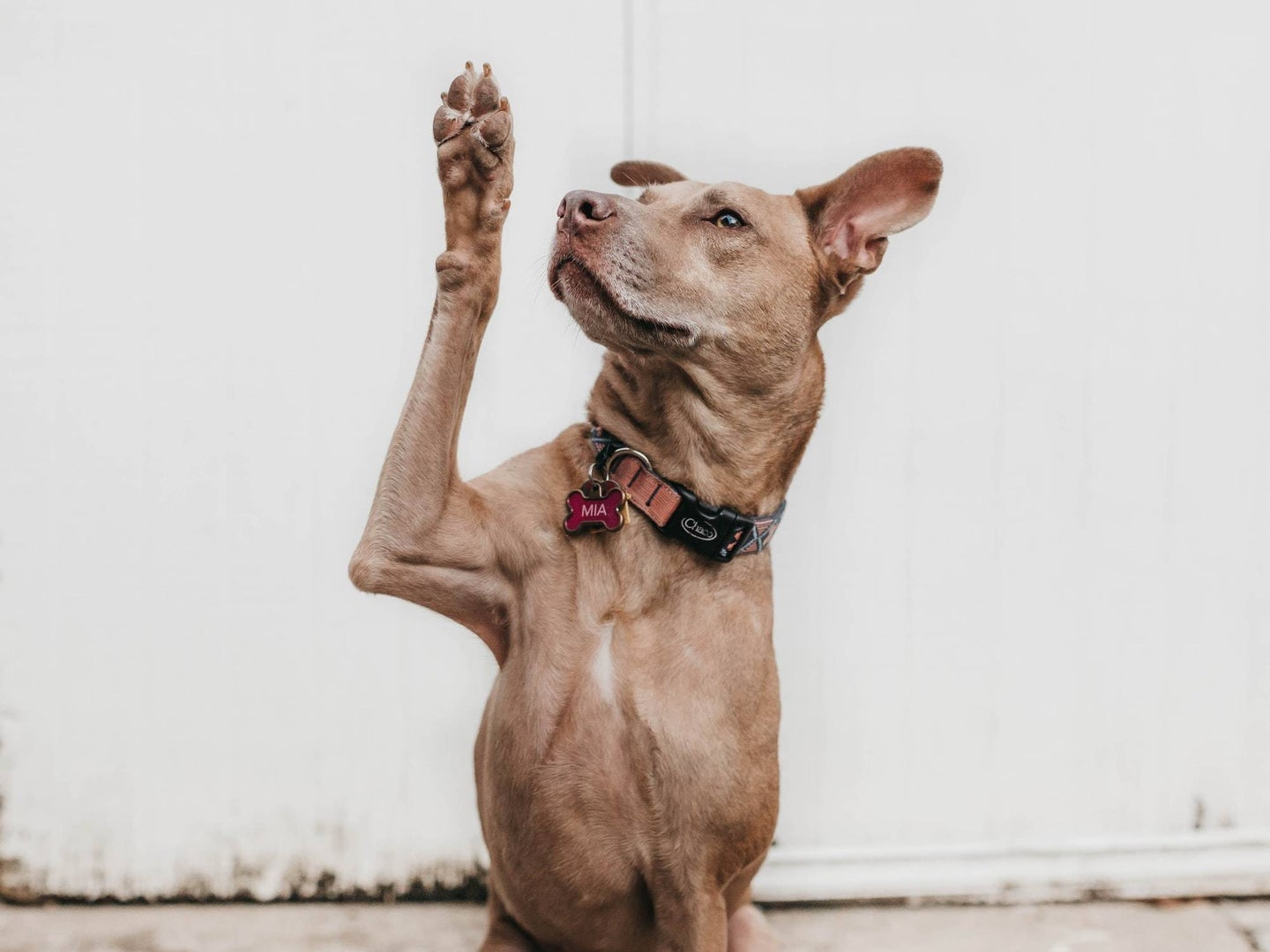 Light brown dog rising its paw as in a greeting