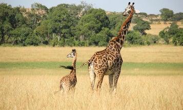 Giraffe grandmas help keep herds going