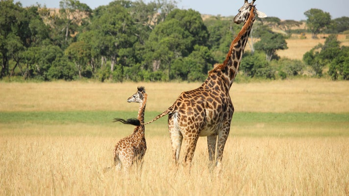 an adult giraffe stands in the grass with a young giraffe