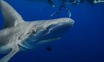 Shark Week may be hurting, not helping, its namesake creature