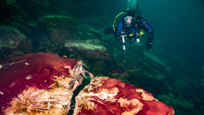 Underwater, a diver approaches a red and white mat of bacteria that looks like a giant raw steak.
