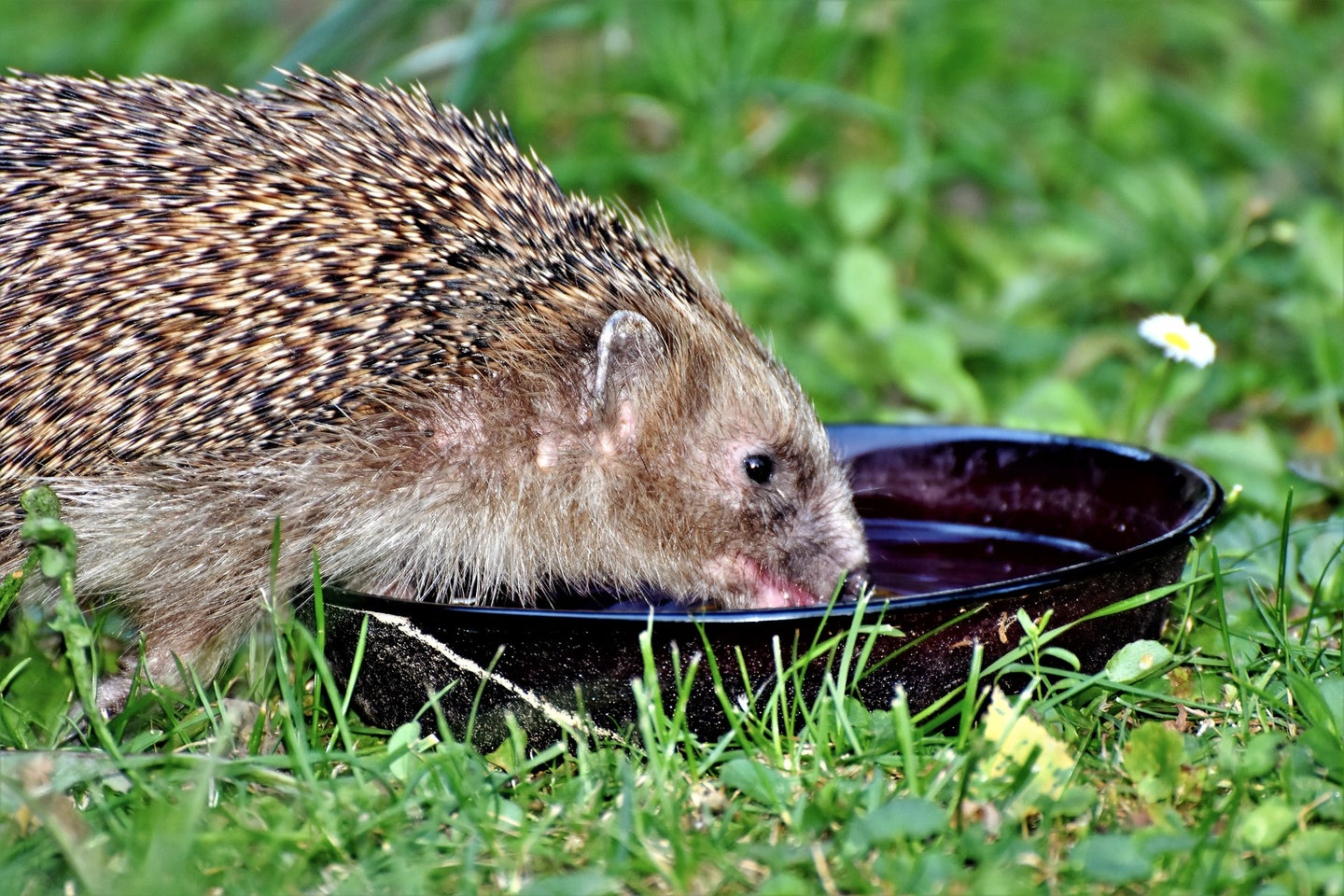 A hedgehog drinking water out of a bowl on some grass.