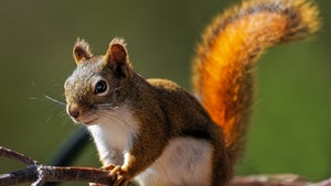 Scientists confirm that squirrels are amazing gymnasts