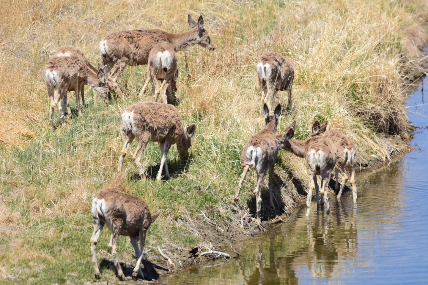 Mule deer herd grazing in shallow water and dry grass