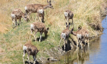 This hardy deer species is being pushed to its limits by the megadrought out West