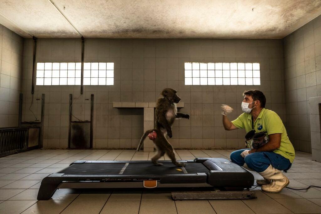 Baboon on treadmill