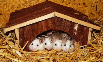 Young mice learn to parent by babysitting