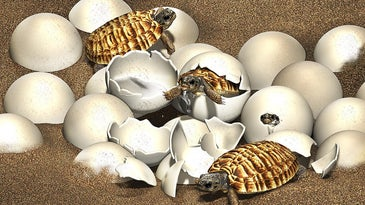 An illustration of a best of hatchling baby turtles.
