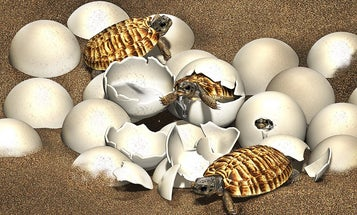 A fossilized egg laid by an extinct, human-sized turtle holds a rare jackpot