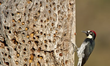 Polygamy is just one reason why acorn woodpeckers are master survivalists