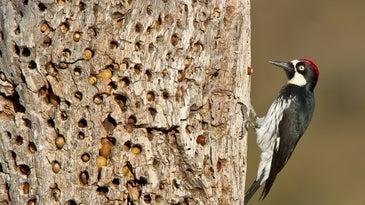 Male acorn woodpecker with tree cache