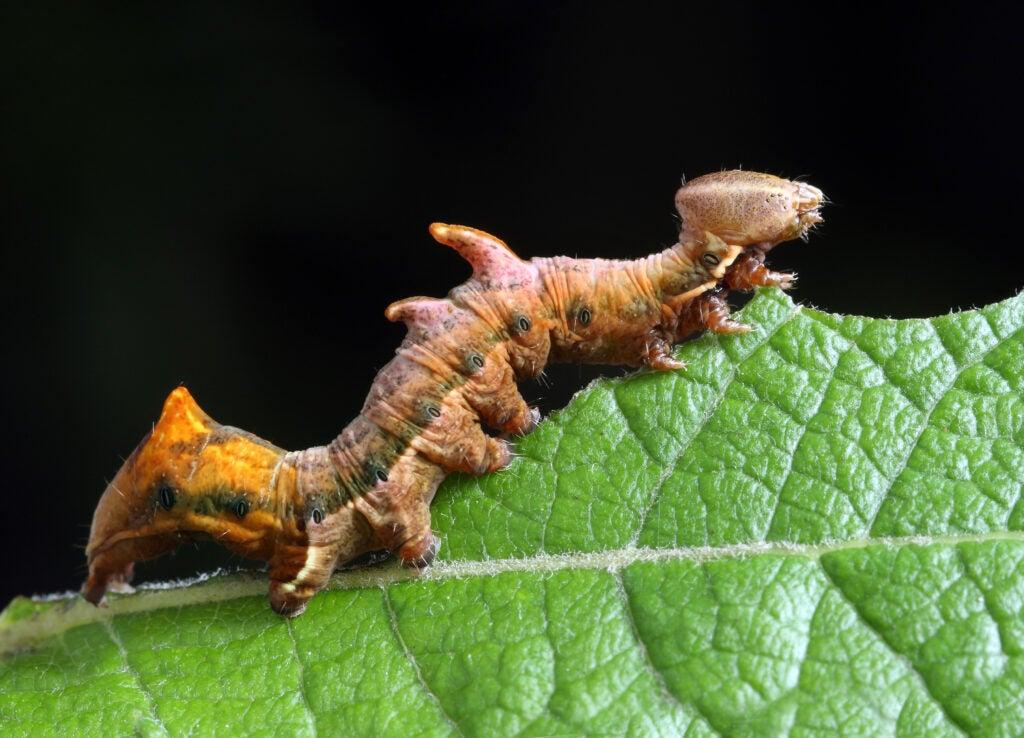 pebble prominent moth caterpillar climbing on a leaf