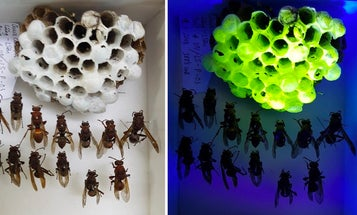 Paper wasp nests have a secret fluorescent glow