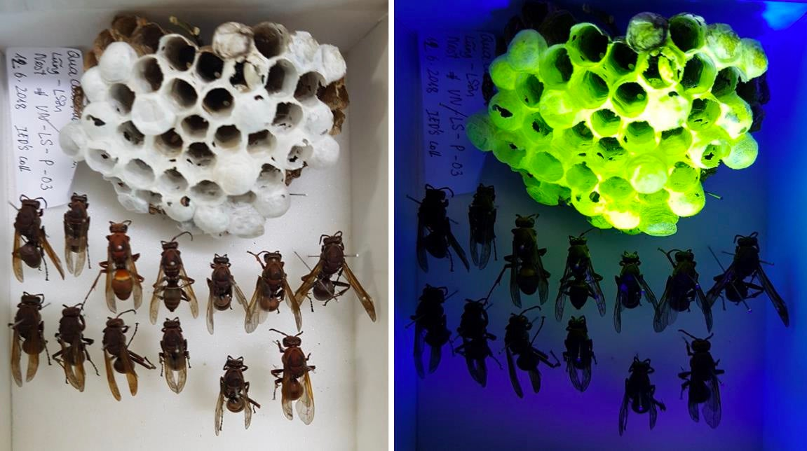 Two photos of wasps and their nests. The photo on the left is under regular light, and the nest appears off-white. The photo on the right is under blacklight, and the nest glows highlighter yellow.