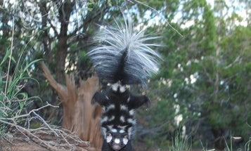 More skunks can do handstands than we thought