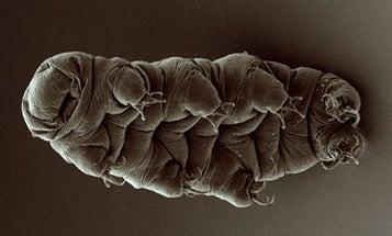 We've seen how tardigrades walk, and it's mesmerizing