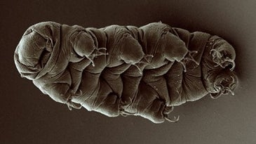 A microscopic image of a tardigrade, a pillowy creature with eight legs.