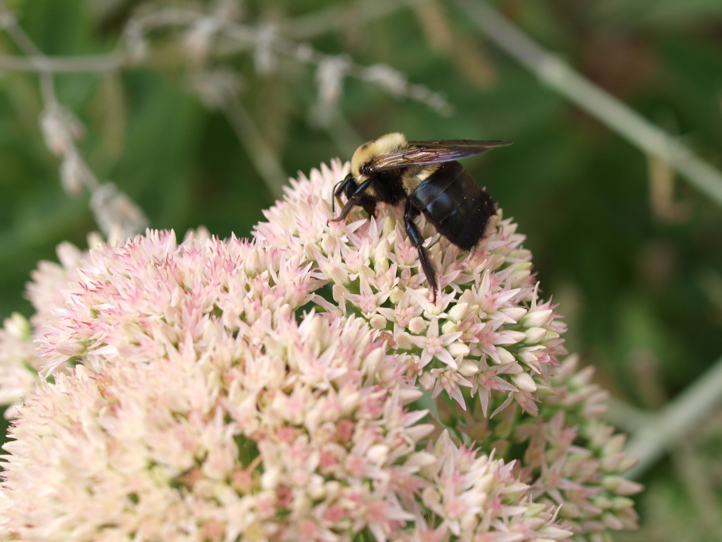 A carpenter bee on a white flower.