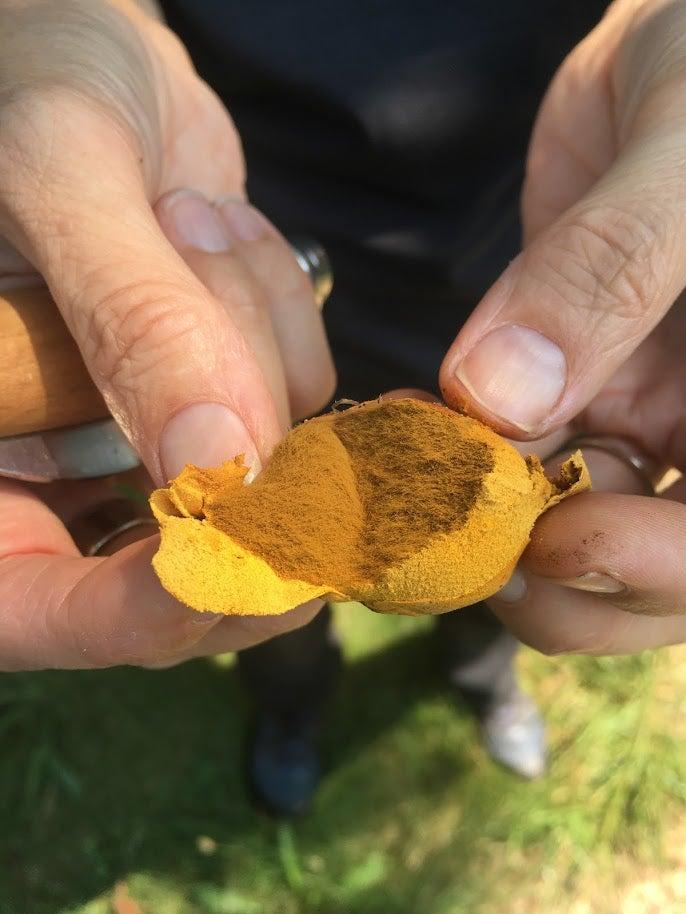 Orange puffball mushroom with spores