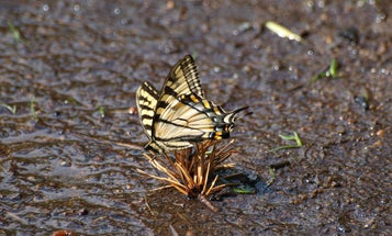 Butterflies drink more than nectar—here's how to turn your yard into an oasis