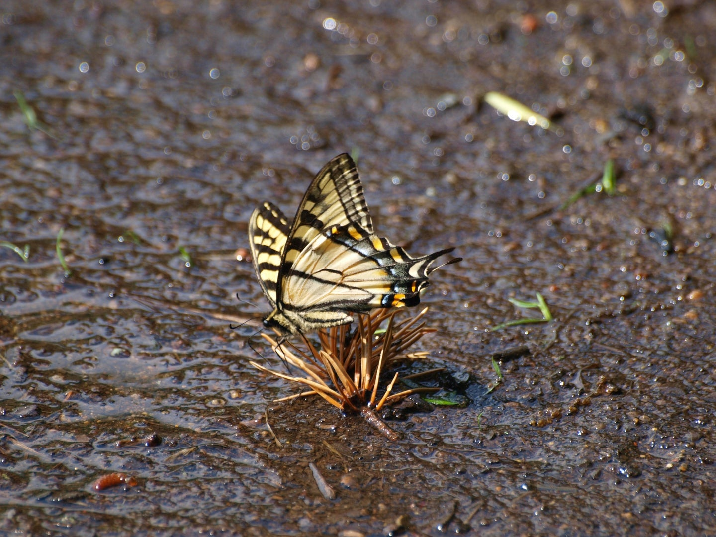 A tiger swallowtail butterfly puddling and drinking water in a muddy area.