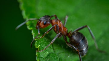 A red and brown ant on a green leaf.