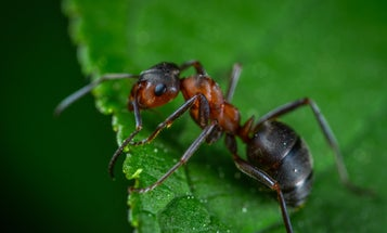 Surprise: Ants have teeth. Here's how they keep them sharp.