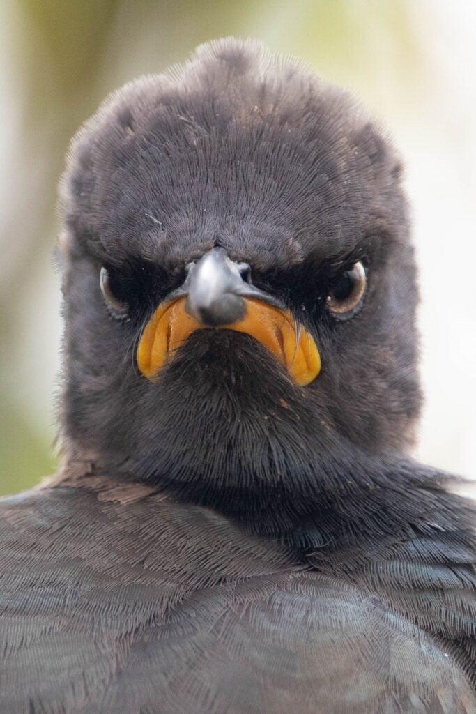 Close-up of pied starling beak