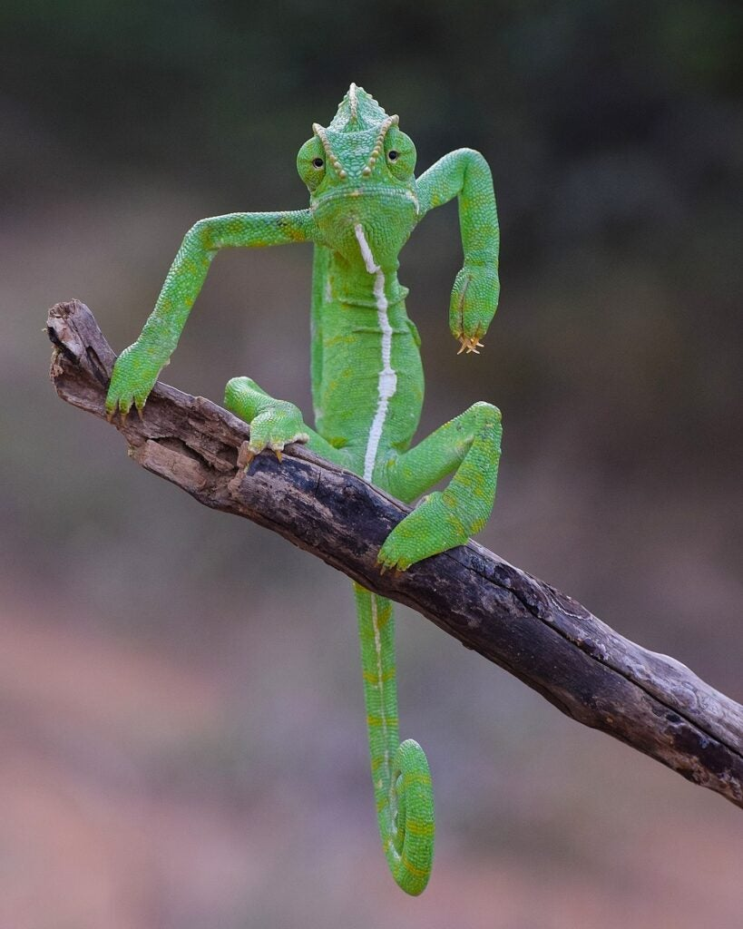 Indian chameleon on the end of a branch