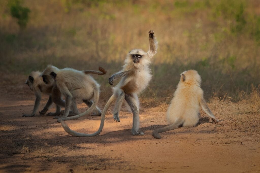 Langur monkeys playing in a group