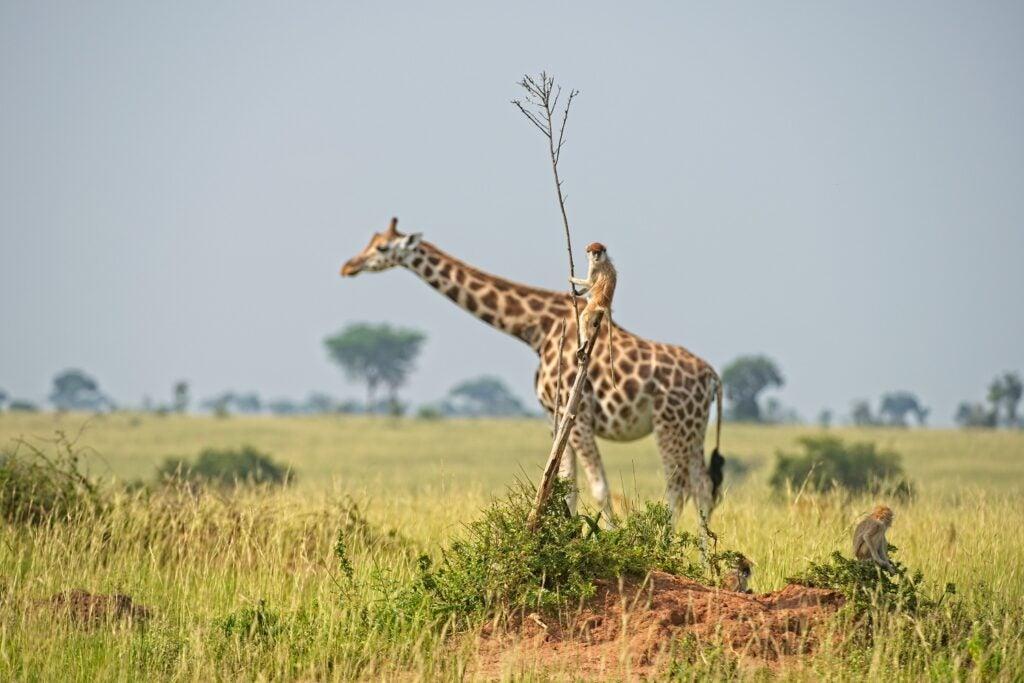 A monkey on a tree looks like it's sitting on a giraffe