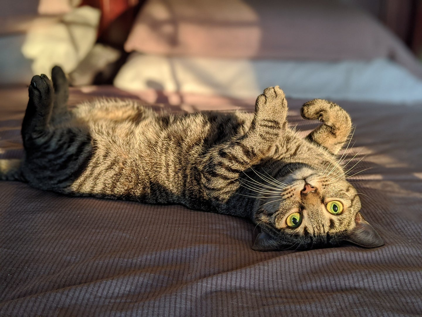A light brown and dark brown tabby cat lays on its back and looks at a camera upside down.