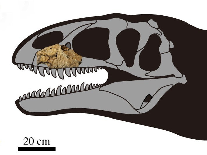 An illustration of a dinosaur skull with a real bone fossil displayed in one section of the upper jaw.