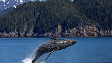 A humpback whale breaches water and hangs in mid-air, in front of forested cliffs.